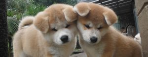 Japanese Akita Puppies for sale (2)