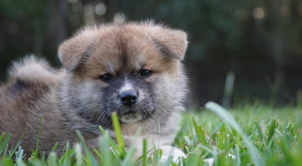 Japanese Akita Puppy for sale
