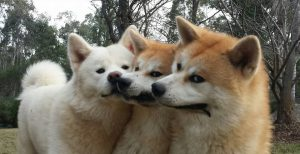Japanese-Akita-Puppies-for-sale