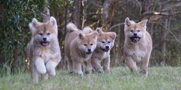 Japanese Akita puppies for sale
