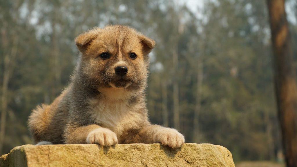 Buy Japanese Akita Puppy